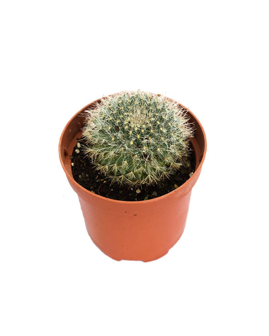 Cactus Mammillaria zeilmanniana