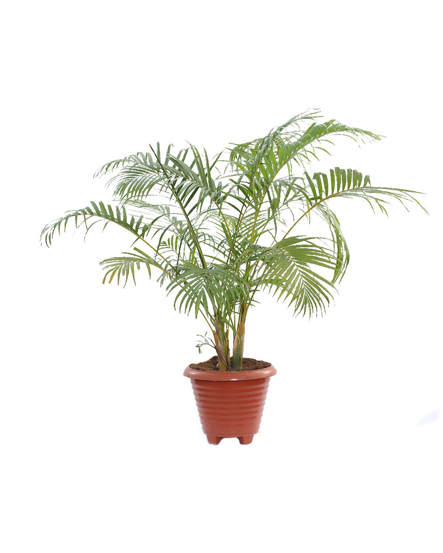 Dypsis Lutescens -Areca Palm
