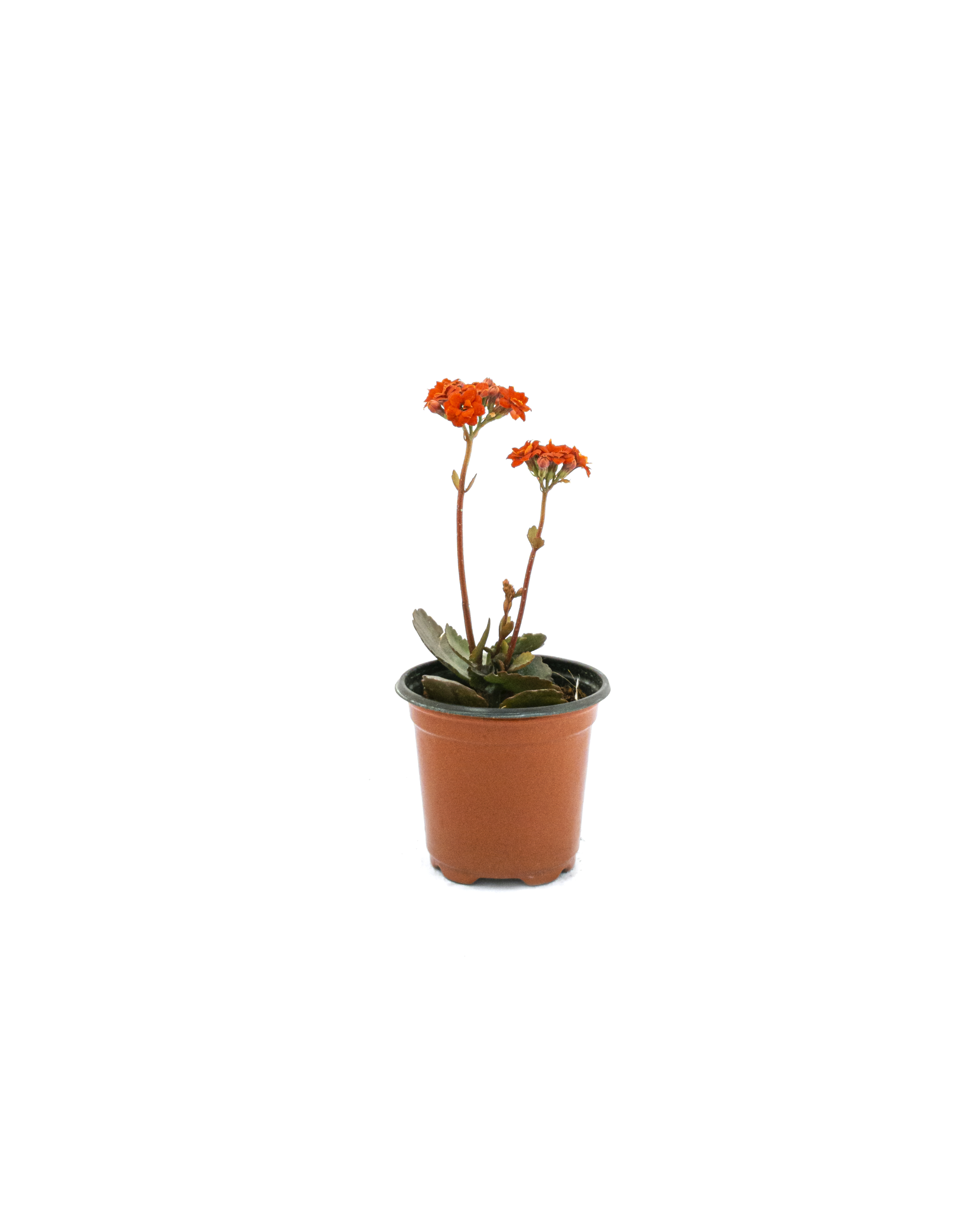 Kalanchoe (Local Red)