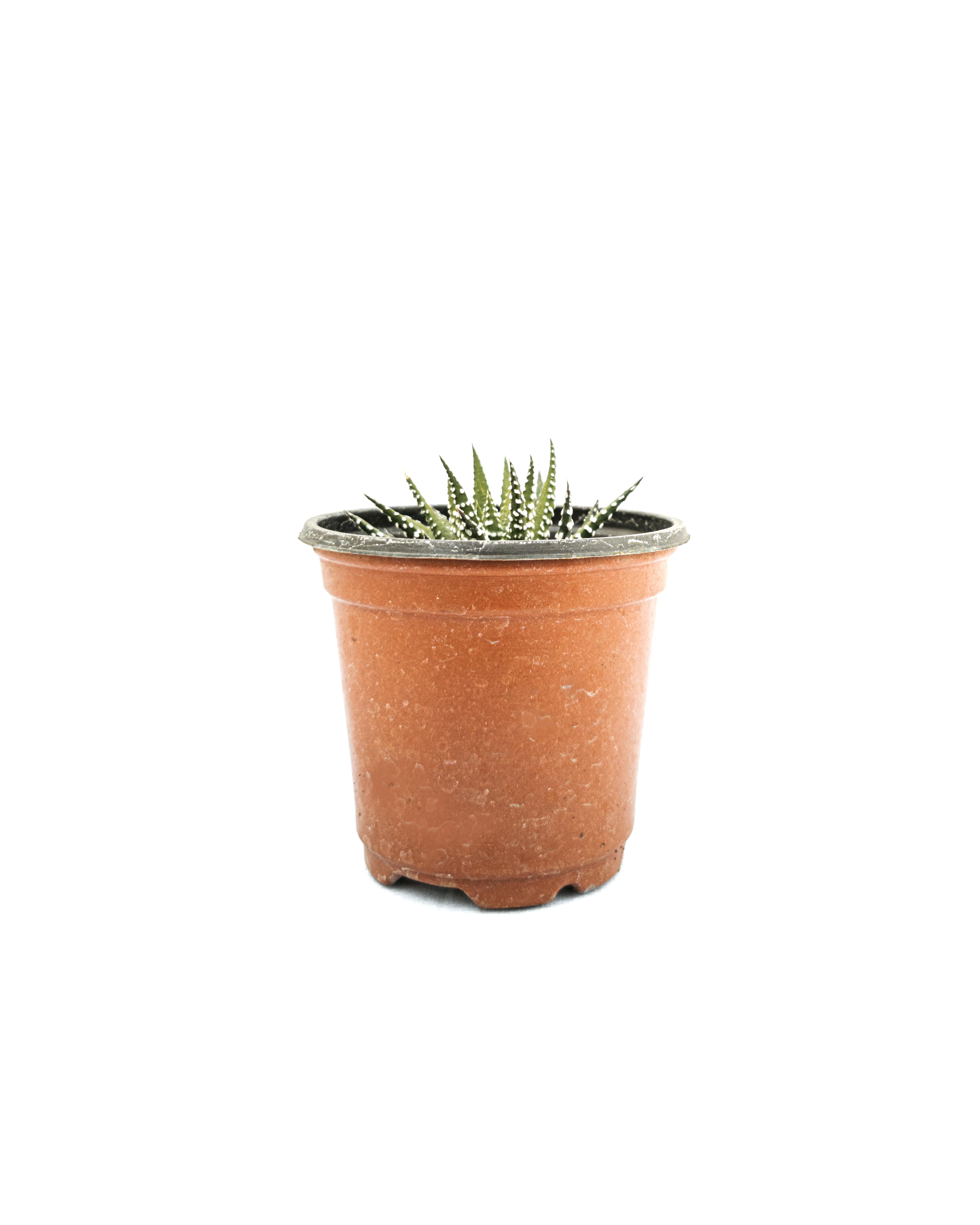 Haworthia Alba