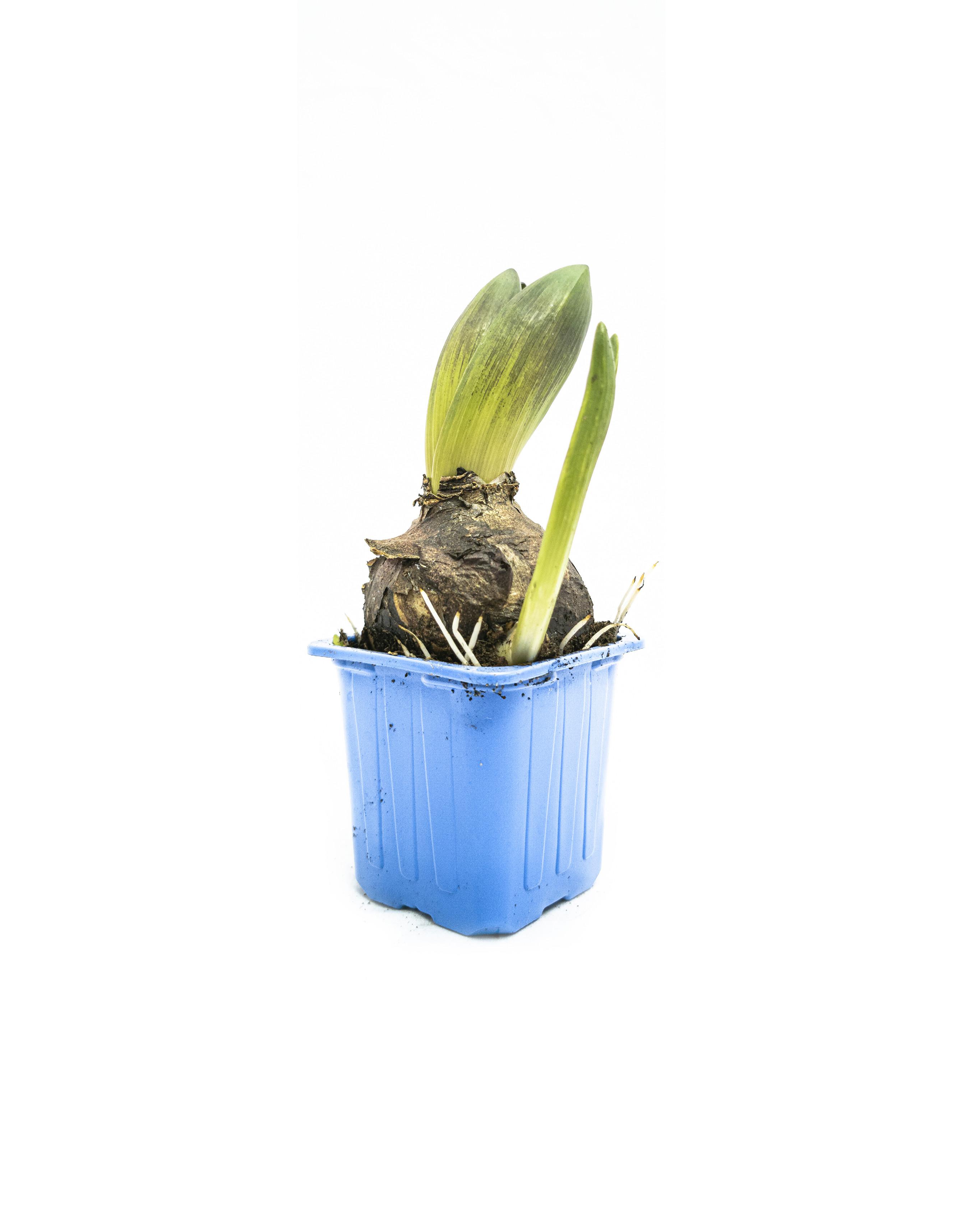 Hyacinthus orie mix 4 blue(7cm)