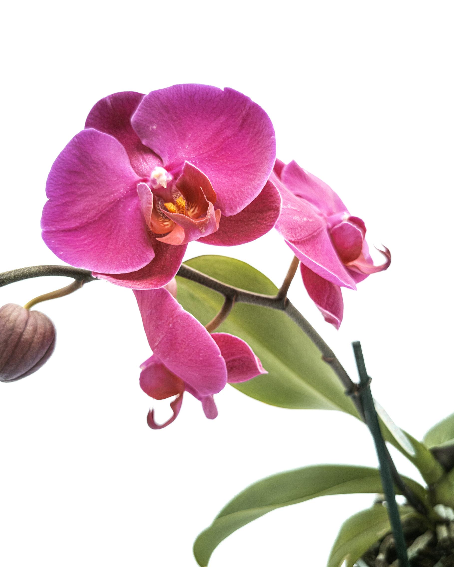 Phalaenopsis 1 orchid color stick wave mix(12cm)