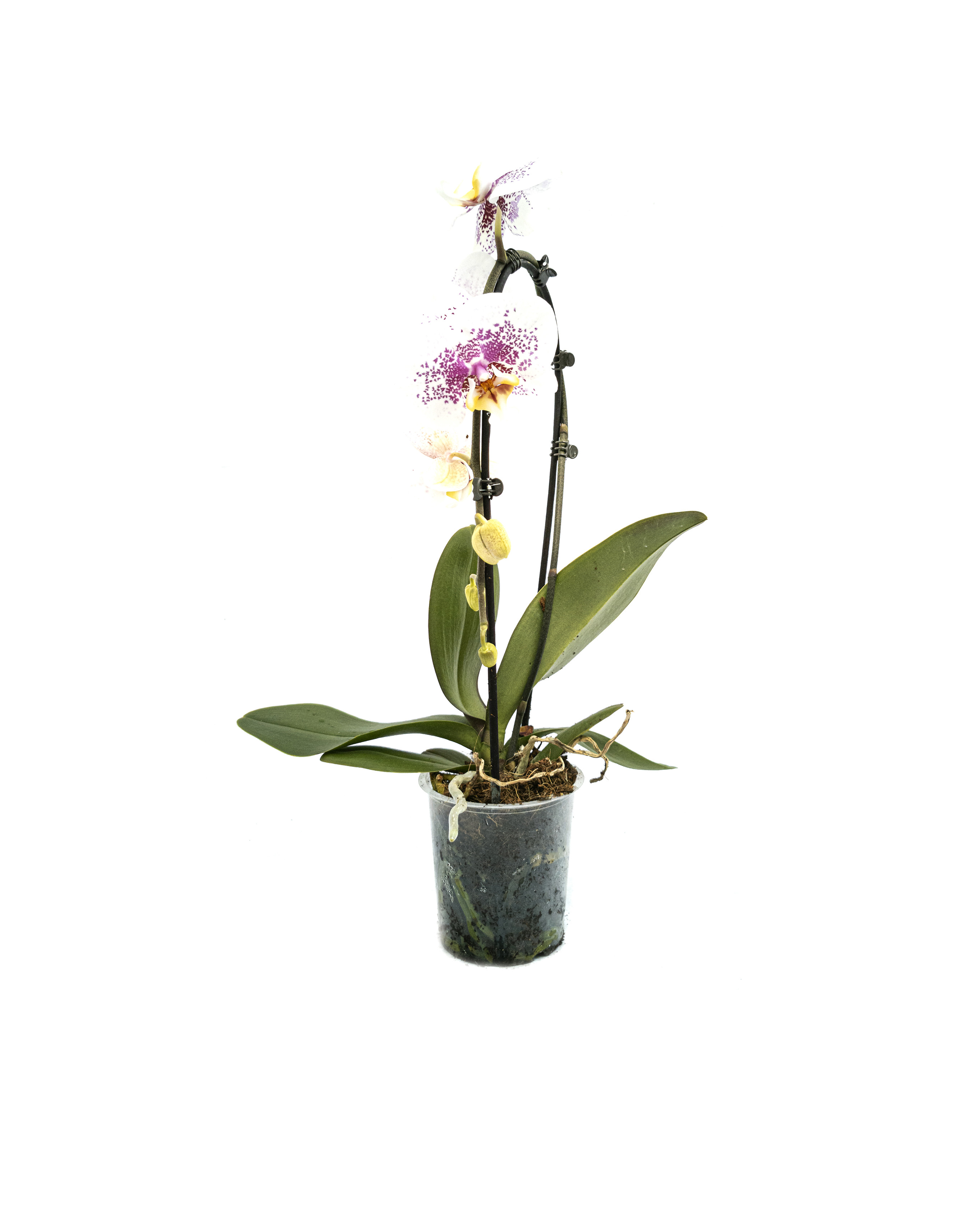 Phalaenopsis cascade 'white purple mix'(12cm)