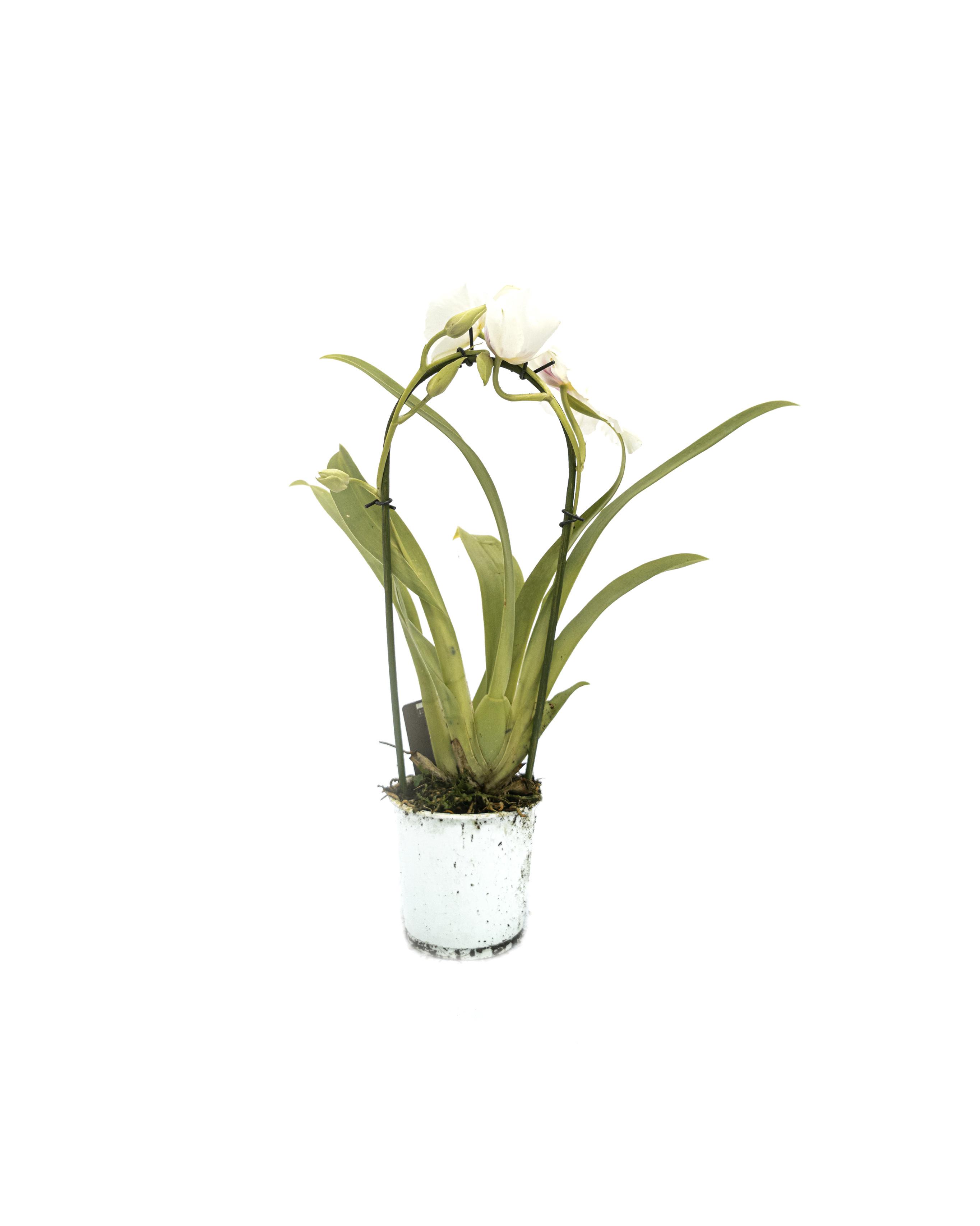 Phalaenopsis cascade'white'(12cm)