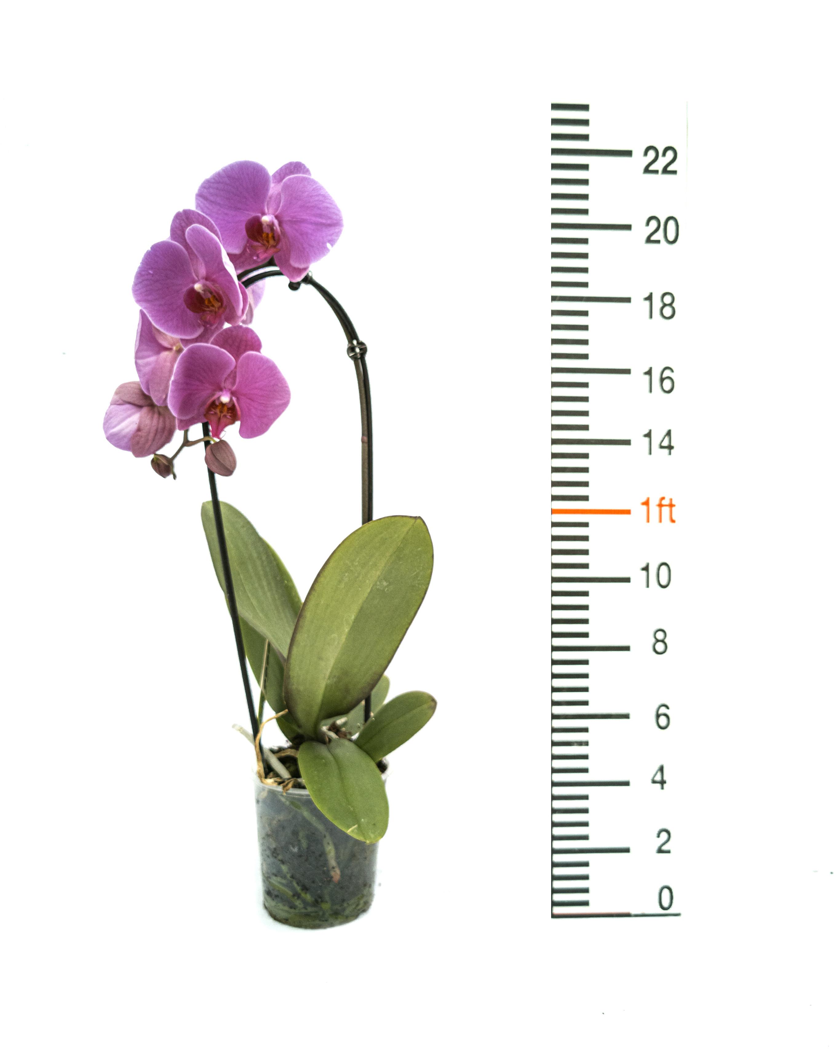 Phalaenopsis cascade'Pink'(12cm)