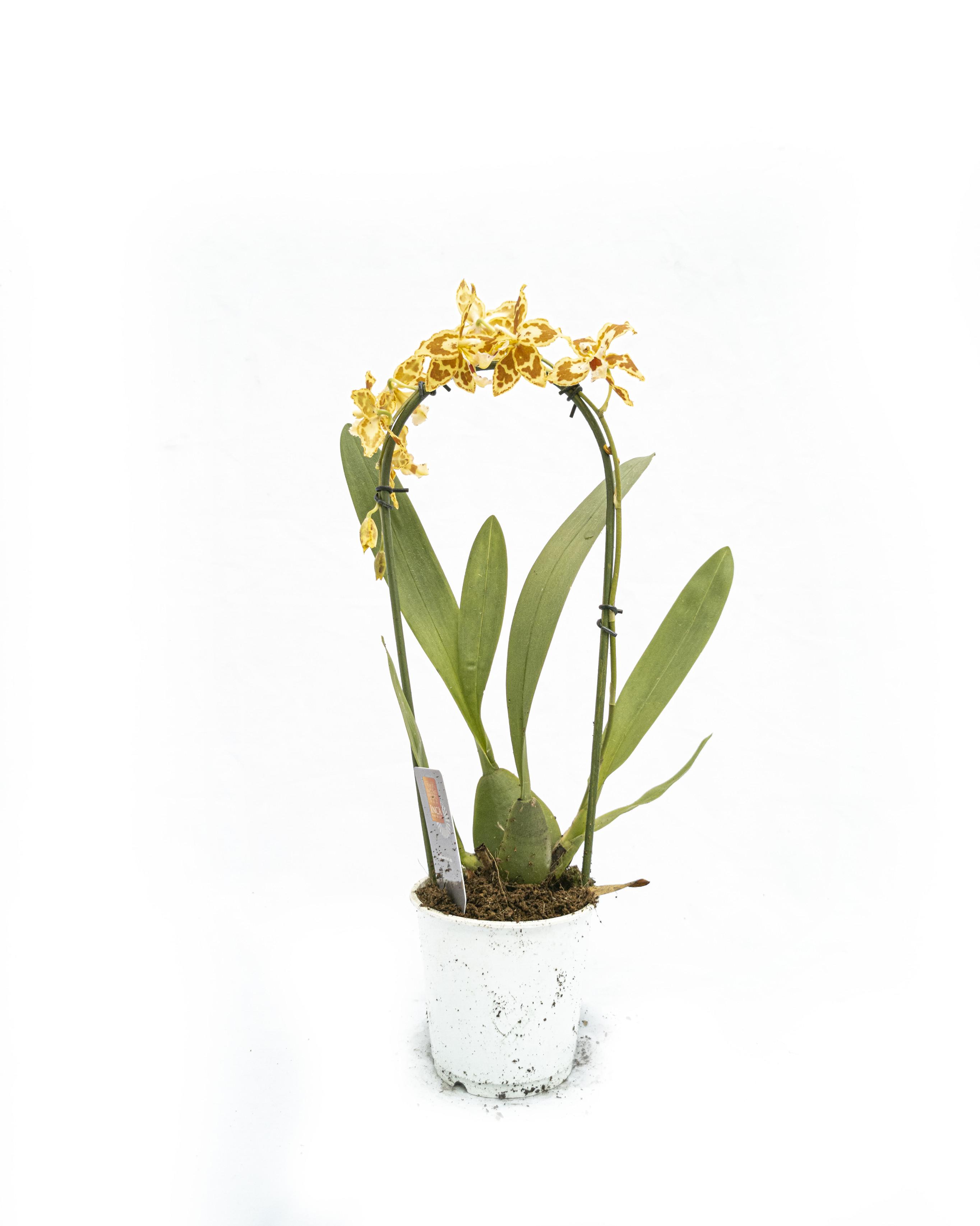 Orchideeen yellow (9cm)