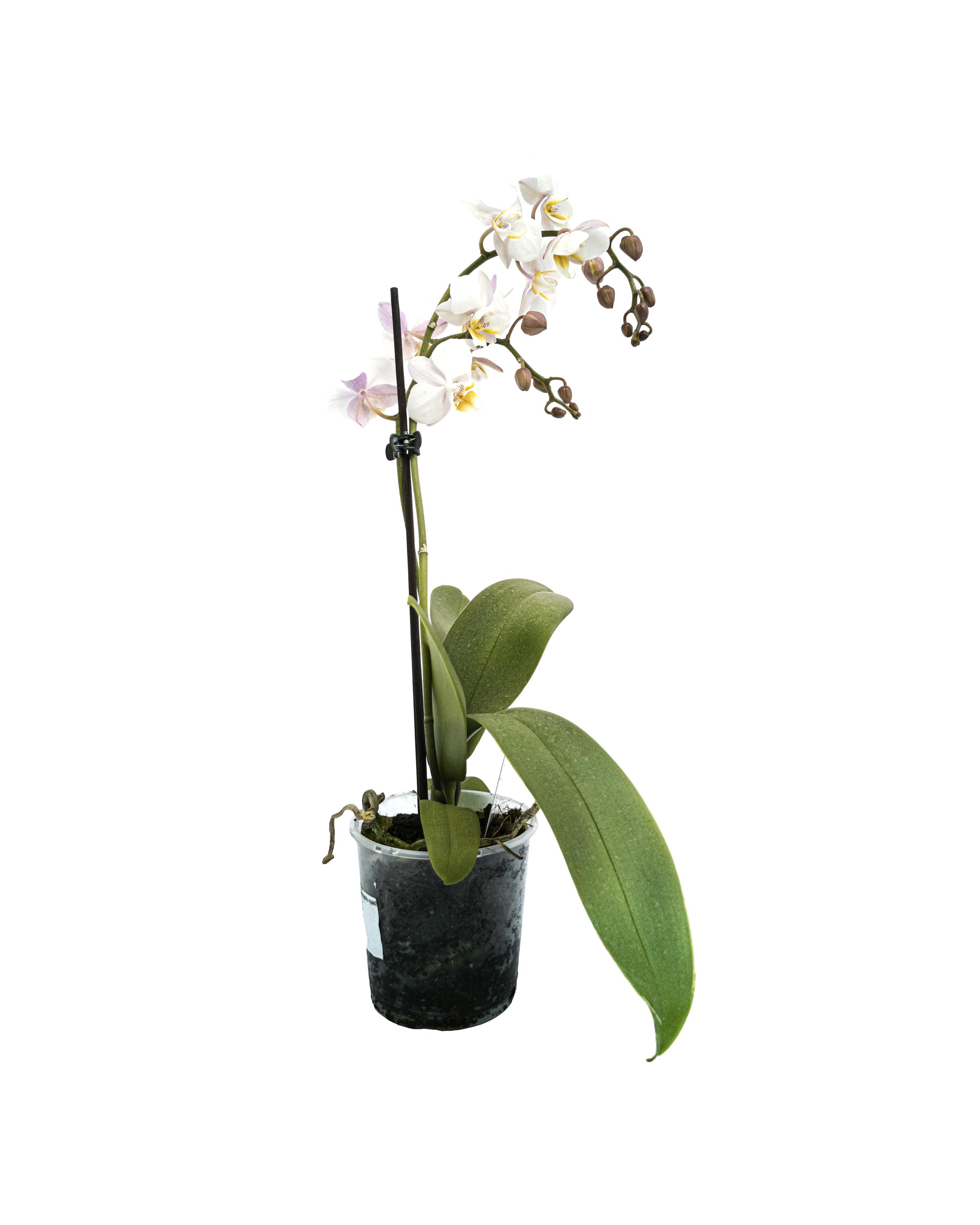 Phalaenopsis rose 2 branch (9cm)