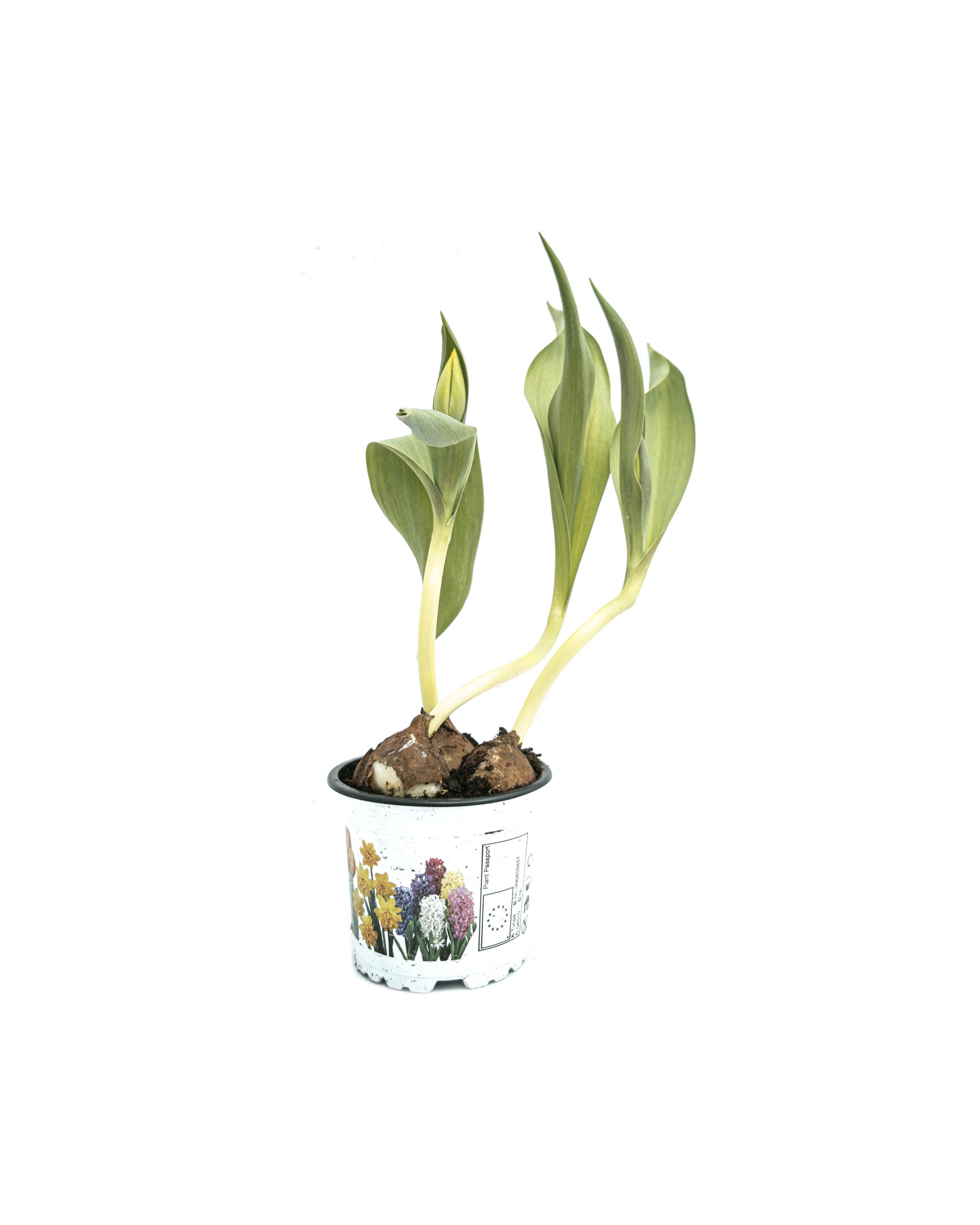 Tulipa En 'flair' (10.5 cm)
