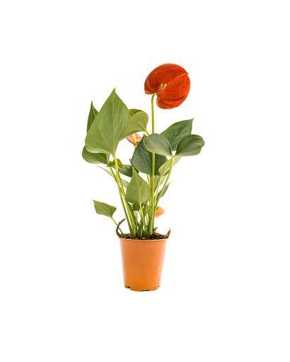 Anthurium Dimond Red (Pot size 6cm)