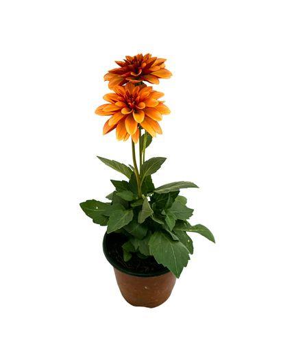 Dallia Orange Bicolor