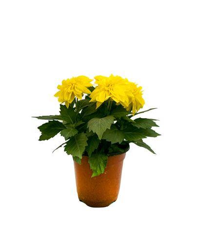 Dallia  Yellow