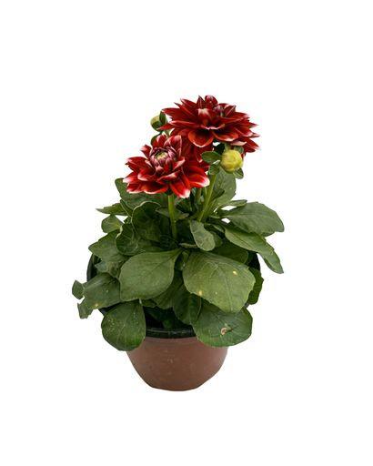 Dallia Crimson Picotee