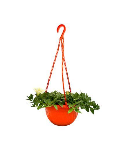 Beautinia Lime ( Hanging Pot)