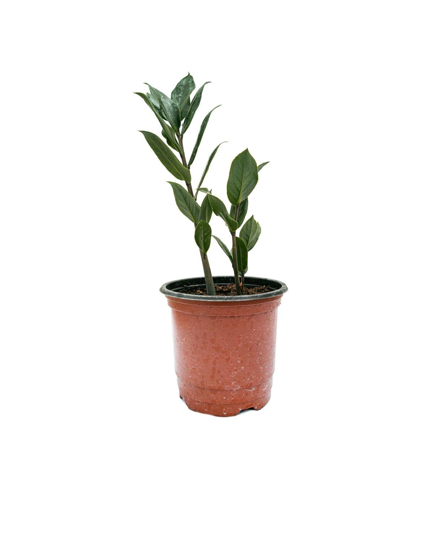 Local Zamioculcas Zamiifolia