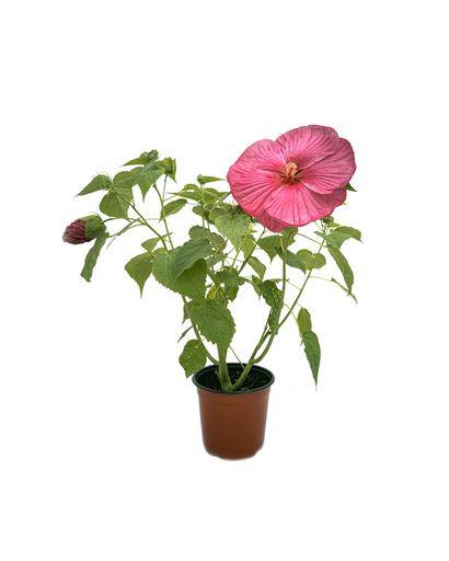 Hibiscus Marshy Rose