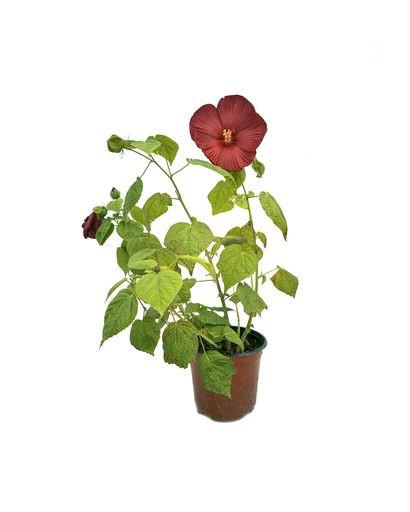 Hibiscus Marshy Red