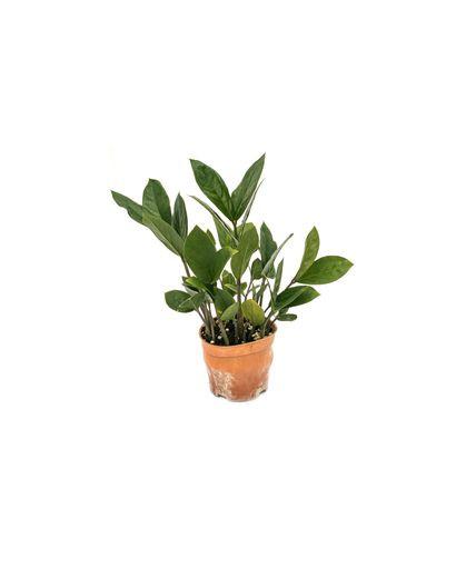 Zamiocullas Zamiifolia
