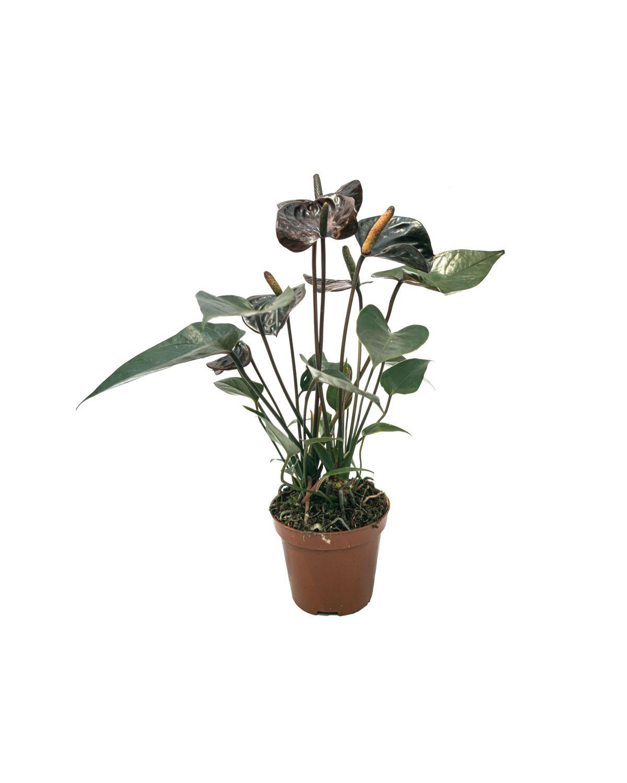 Anthurium Black love