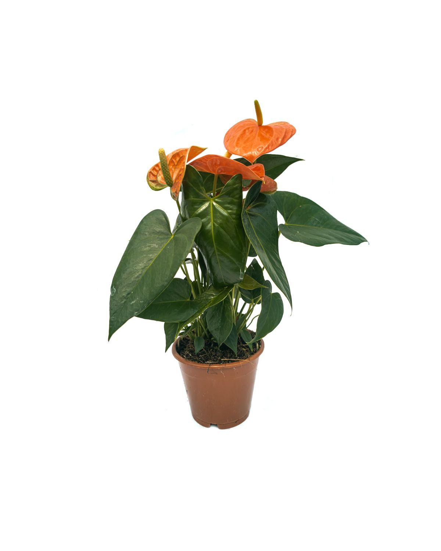 Anthurium 'Prince Orange'