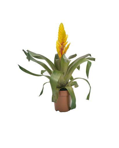 Vriesea Intenso Yellow(Bromeliad)