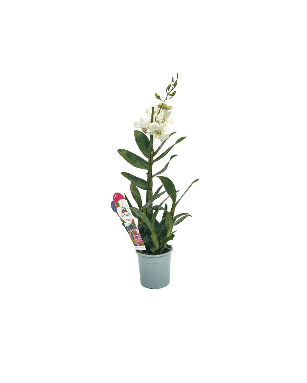 Dendrobium Sa-nook Orchid(White)