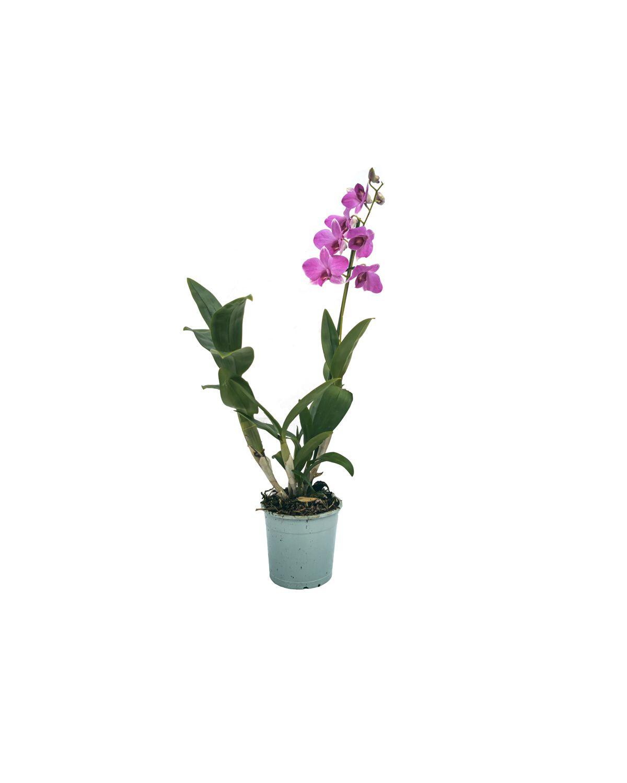 Dendrobium Sa-nook Orchid(Pink)