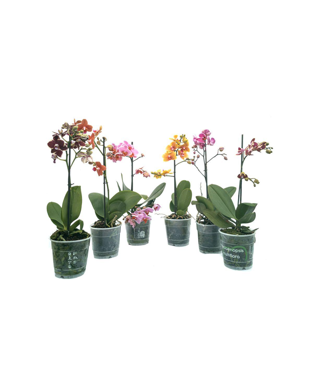 Phalaenopsis Orchids Mix (1 stick)