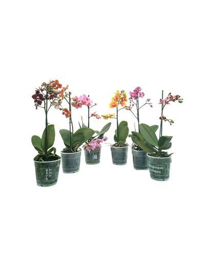 Phalaenopsis Orchids Mix Multi Branch (1 Stick)