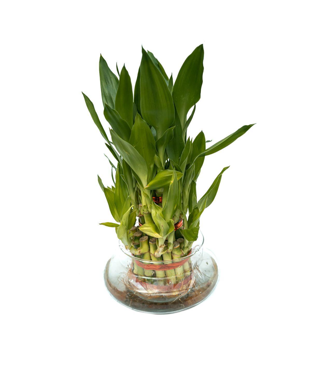 Lucky Bamboo (3 Tier)